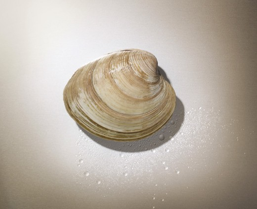 Stock Photo: 1828R-78500 Close-up of Clam