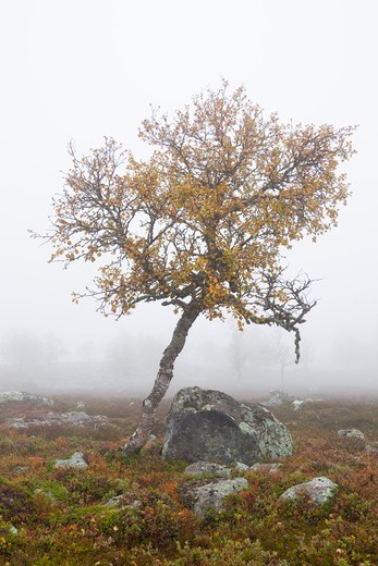 Tree in Misty Field in Autumn, Sweden : Stock Photo