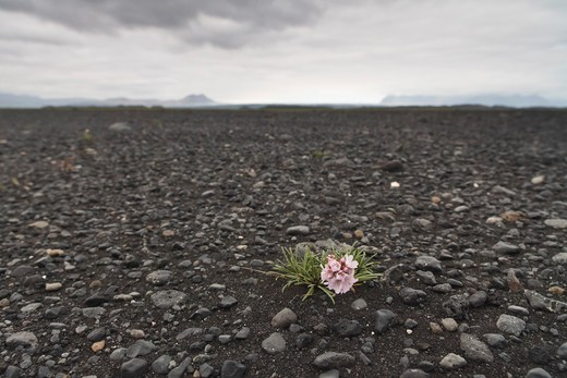 Stock Photo: 1828R-78621 Flower Growing in Rocky Soil, Iceland