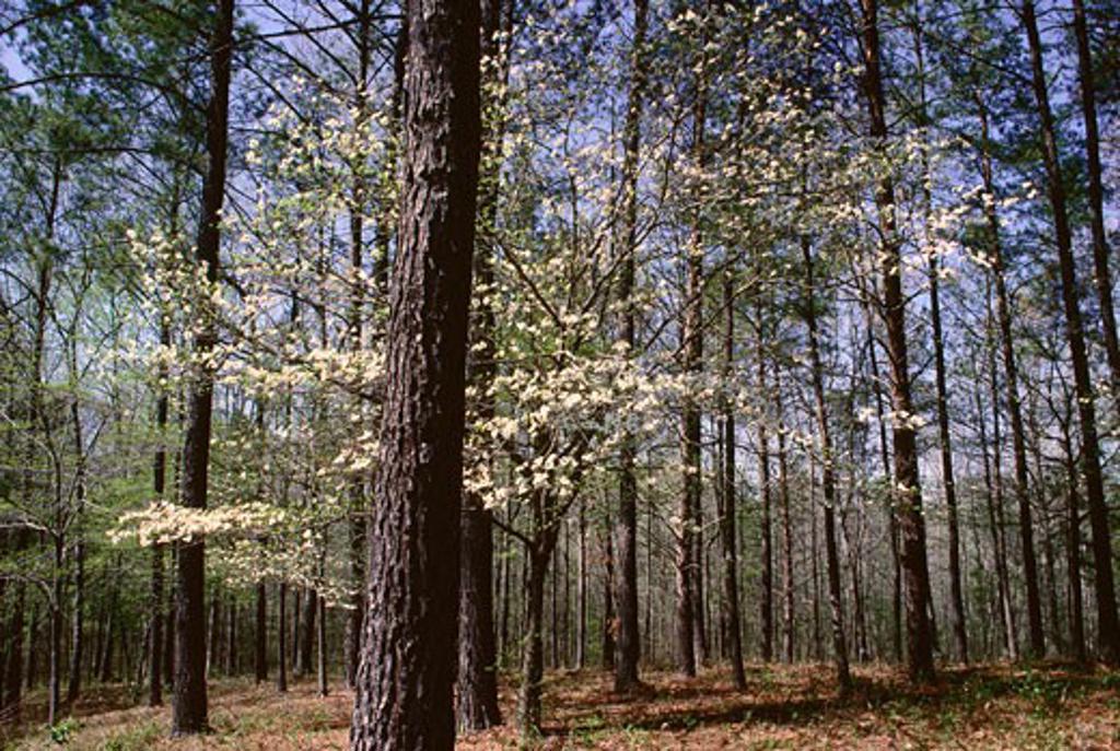 Stock Photo: 1828R-7903 Pine Trees & Dogwood in Spring near Birmingham, Alabama, USA