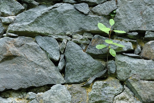 Stock Photo: 1828R-79098 Sappling Growing in Stone Wall, Klein Auheim, Hanau, Main-Kinzig, Hesse, Germany