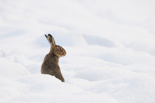 European Brown Hare, Germany : Stock Photo