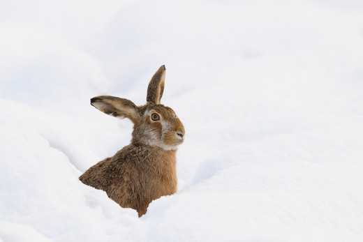 Stock Photo: 1828R-79124 European Brown Hare, Germany