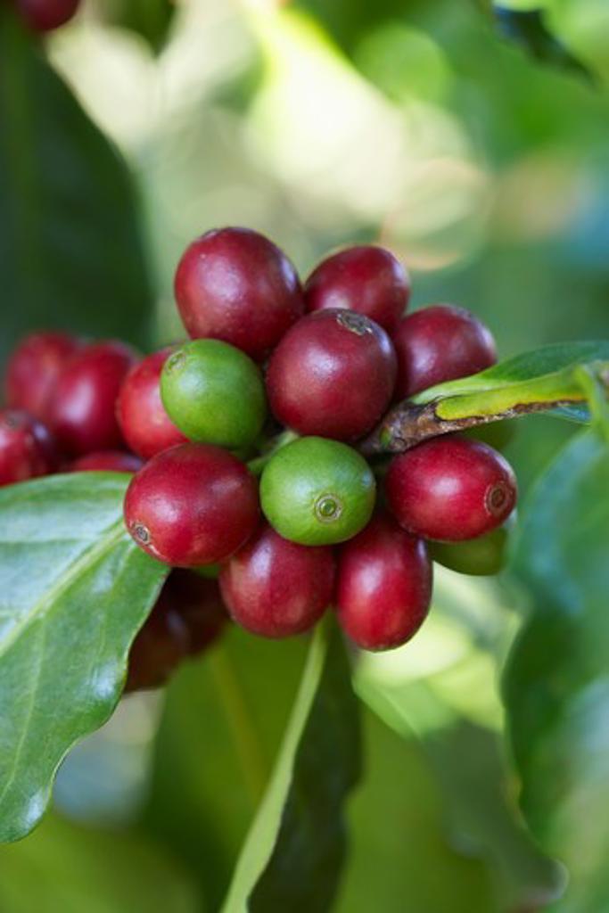 Close-up of Coffee Berries, Finca Villaure Coffee Plantation, Hoja Blanca, Huehuetenango Department, Guatemala : Stock Photo