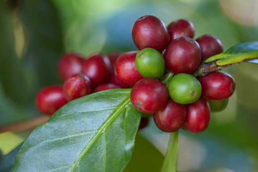 Close-up of Coffee Berries, Finca Villaure Coffee Plantation, Hoja Blanca, Huehuetenango Department, Guatemala : Stock Photo