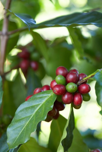 Stock Photo: 1828R-79272 Close-up of Coffee Berries, Finca Villaure Coffee Plantation, Hoja Blanca, Huehuetenango Department, Guatemala