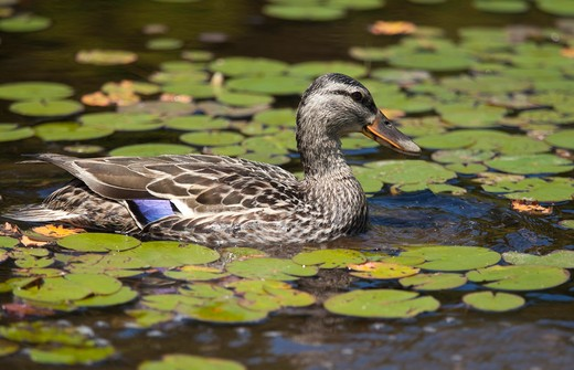Stock Photo: 1828R-79732 Female Black Duck, Wolf Bay, Algonquin Park, Ontario, Canada