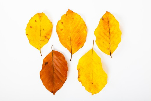 European hornbeam leaves (Carpinus betulus) on white background, autumn, close-up : Stock Photo