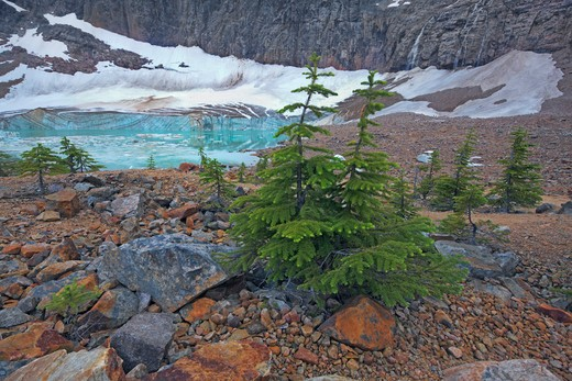 Spruce Trees, Angel Glacier, Mount Edith Cavell, Jasper National Park, Alberta, Canada : Stock Photo