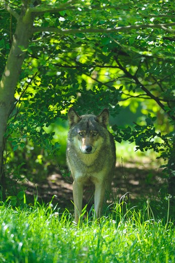 Stock Photo: 1828R-80750 Wolf in Forest, Germany