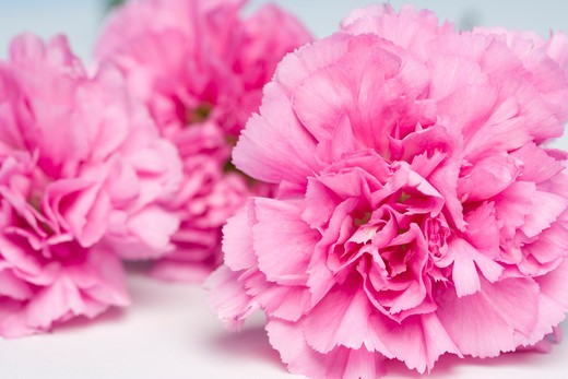 Stock Photo: 1828R-80780 Close-up of Carnations