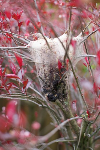 Tent Caterpillar Nest in Tree, Toronto, Ontario, Canada : Stock Photo