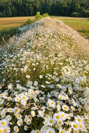 Stock Photo: 1828R-80934 Daisies, Salt Spring Island, Gulf Islands, British Columbia, Canada