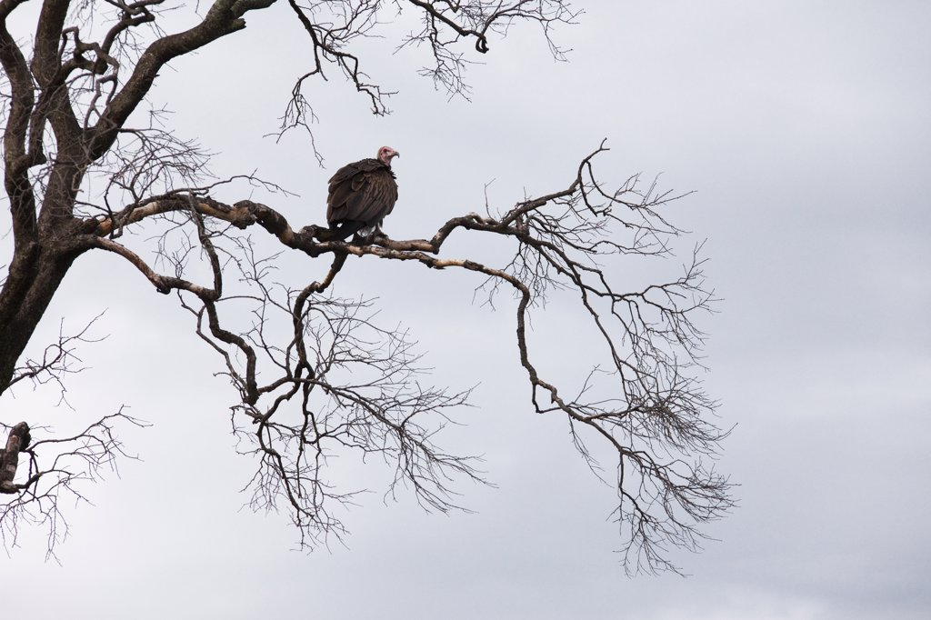 Stock Photo: 1828R-82387 Hooded Vulture on Tree Branch, Masai Mara National Reserve, Kenya
