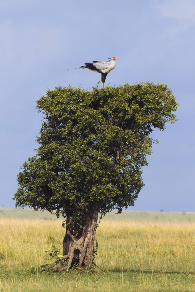 Secretary Bird Nesting on Treetop, Masai Mara National Reserve, Kenya : Stock Photo