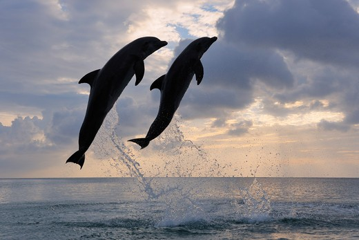Common Bottlenose Dolphins Jumping in Sea at Sunset, Roatan, Bay Islands, Honduras : Stock Photo