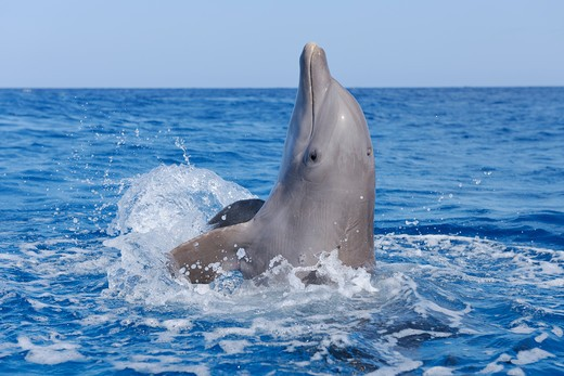 Stock Photo: 1828R-83122 Common Bottlenose Dolphin in Caribbean Sea, Roatan, Bay Islands, Honduras