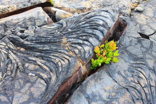 Stock Photo: 1828R-83281 Plants Growing out of Cracks in Lava, Kilauea, Hawaii Volcanoes National Park, Big Island Hawaii, Hawaii, USA