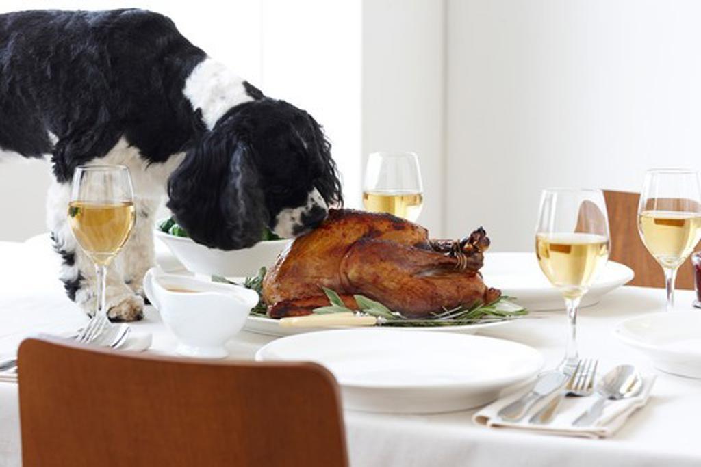 Cocker Spaniel Eating Turkey on Table : Stock Photo