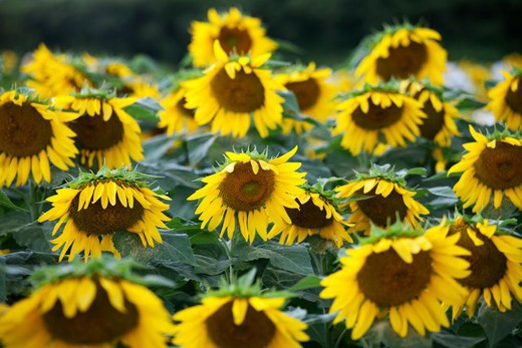 Sunflower Farm, Kauai, Hawaii, USA : Stock Photo
