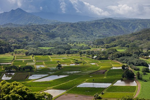 Stock Photo: 1828R-84615 Taro Fields, Kauai, Hawaii, USA