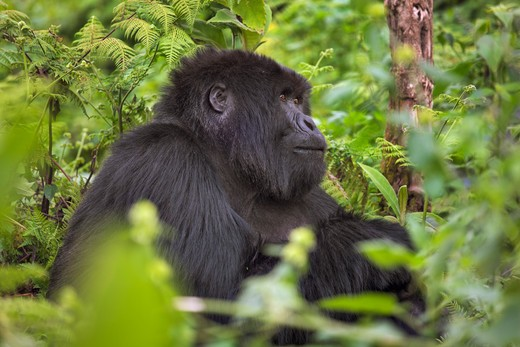 Stock Photo: 1828R-84828 Mountain Gorilla, Parc National des Volcans, Rwanda
