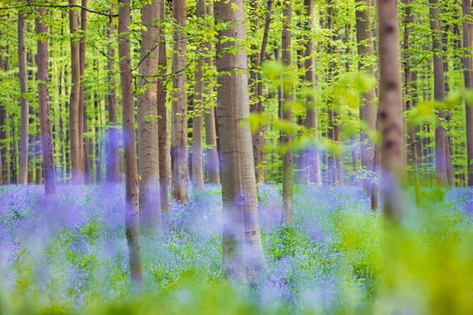 Stock Photo: 1828R-85961 European Beech Forest and Bluebells, Hallerbos, Halle, Flemish Brabant, Flanders, Belgium