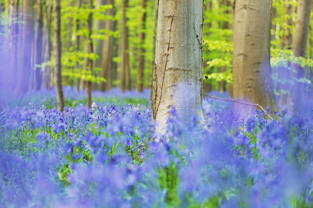Stock Photo: 1828R-85962 European Beech Forest and Bluebells, Hallerbos, Halle, Flemish Brabant, Flanders, Belgium