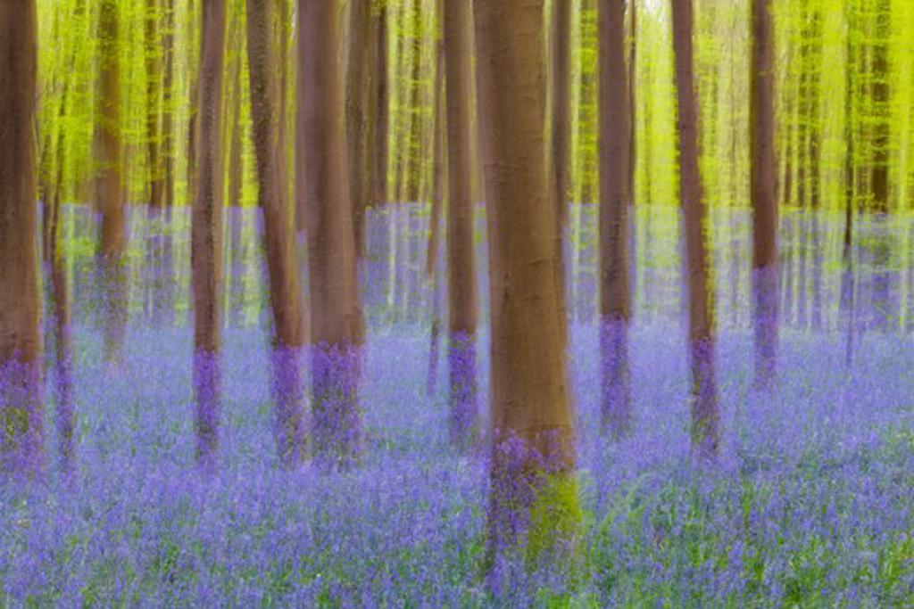 European Beech Forest and Bluebells, Hallerbos, Halle, Flemish Brabant, Flanders, Belgium : Stock Photo