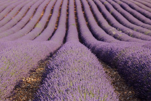 Stock Photo: 1828R-86089 English Lavender Field, Valensole, Valensole Plateau, Alpes-de-Haute-Provence, Provence-Alpes-Cote d´Azur, Provence, France