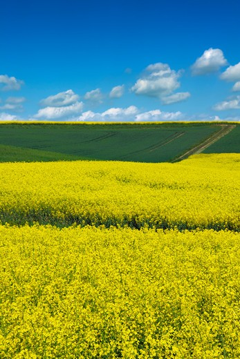 Canola and Corn Field, Limburg an der Lahn, Hesse, Germany : Stock Photo