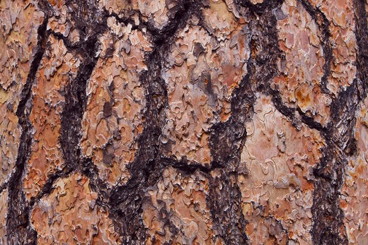 Stock Photo: 1828R-87086 Pine Bark, Little Lava Lake, Deschutes National Forest, Oregon, USA