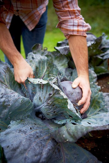 Stock Photo: 1828R-87559 Harvesting Red Cabbage, Bradford, Ontario, Canada