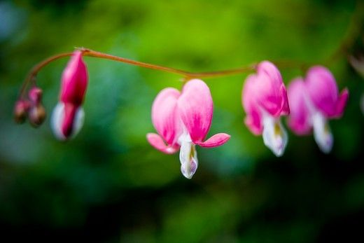 Stock Photo: 1828R-87662 Bleeding Hearts, Ontario, Canada