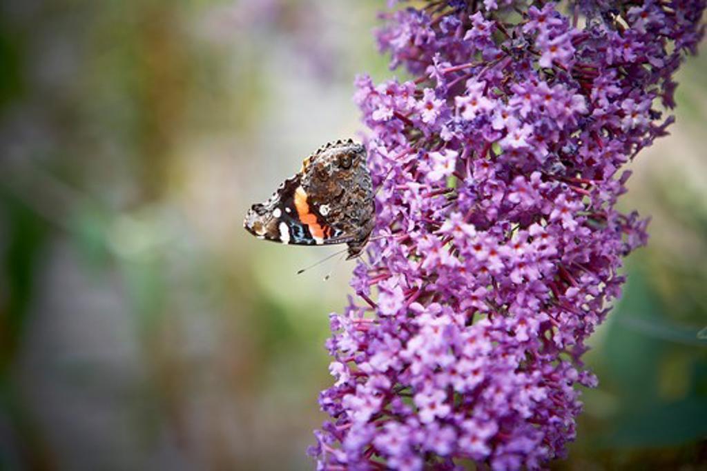 Butterfly Resting on Buddleia Davidii, Toronto, Ontario, Canada : Stock Photo