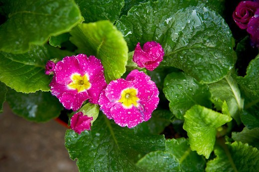 Water Drops on Primula Flowers, Toronto, Ontario, Canada : Stock Photo