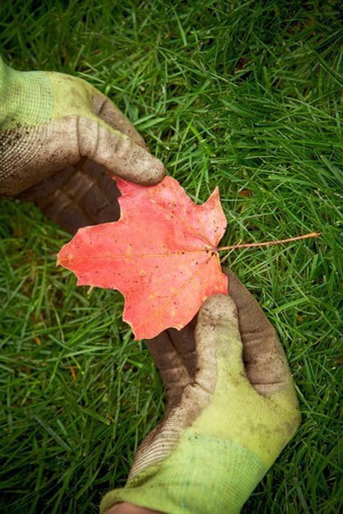 Stock Photo: 1828R-87932 Gardener holding Maple Leaf, Toronto, Ontario, Canada