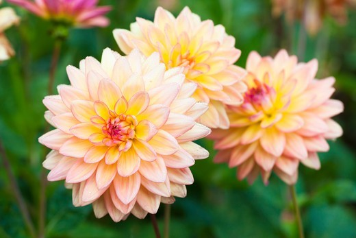 Stock Photo: 1828R-87965 Dahlias in Garden