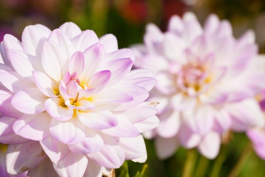 Close-up of Dahlias : Stock Photo
