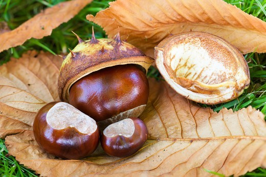 Stock Photo: 1828R-87985 Horse Chestnuts and Leaves on Ground
