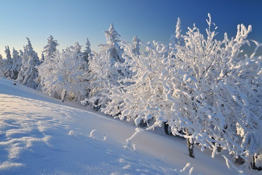 Snow Covered Trees, Schneeekopf, Gehlberg, Thuringia, Germany : Stock Photo