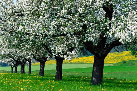 Blossoming Apple Trees, Baden-Wurttemberg, Germany    : Stock Photo