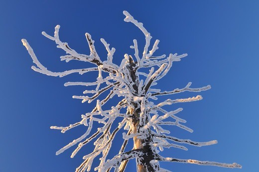 Snow Covered Conifer Tree Branch, Grosser Inselsberg, Brotterode, Thuringia, Germany : Stock Photo