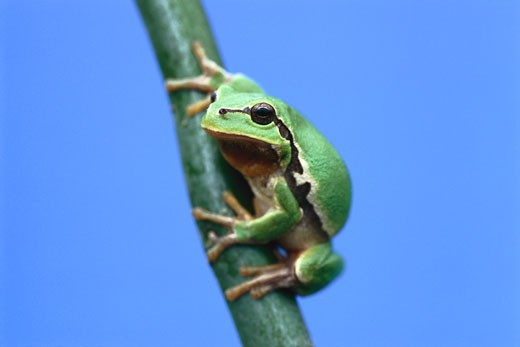 Stock Photo: 1828R-8842 Tree Frog