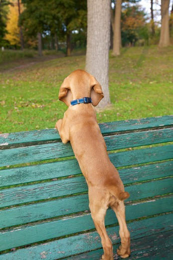 Backview of Viszla Puppy Standing on Park Bench, High Park, Toronto, Ontario, Canada : Stock Photo