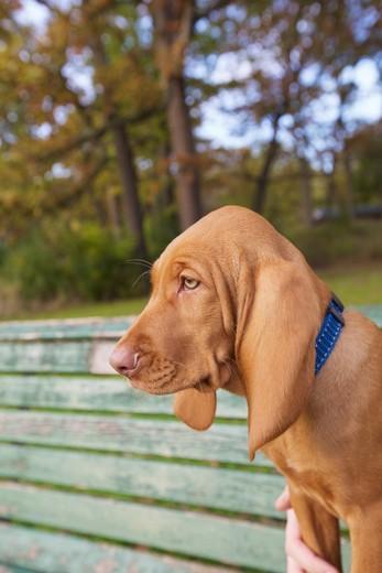 Portrait of Viszla Puppy Sitting on Park Bench, High Park, Toronto, Ontario, Canada : Stock Photo