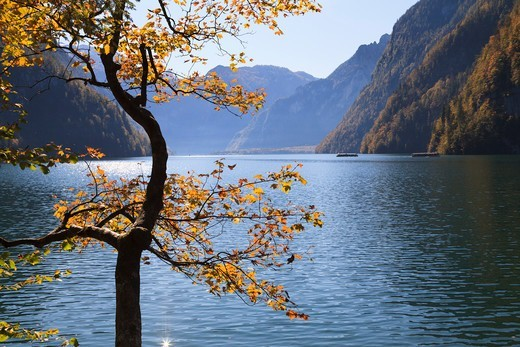 Stock Photo: 1828R-88569 Beech Tree in Autumn, Lake Koenigssee, Berchtesgadener Land, Bavaria, Germany