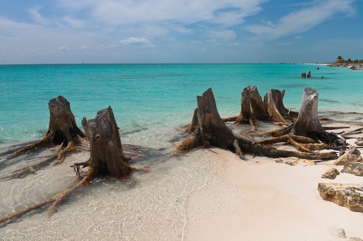 Dead Tree, Cayo Largo, Canarreos Archipelago, Cuba : Stock Photo