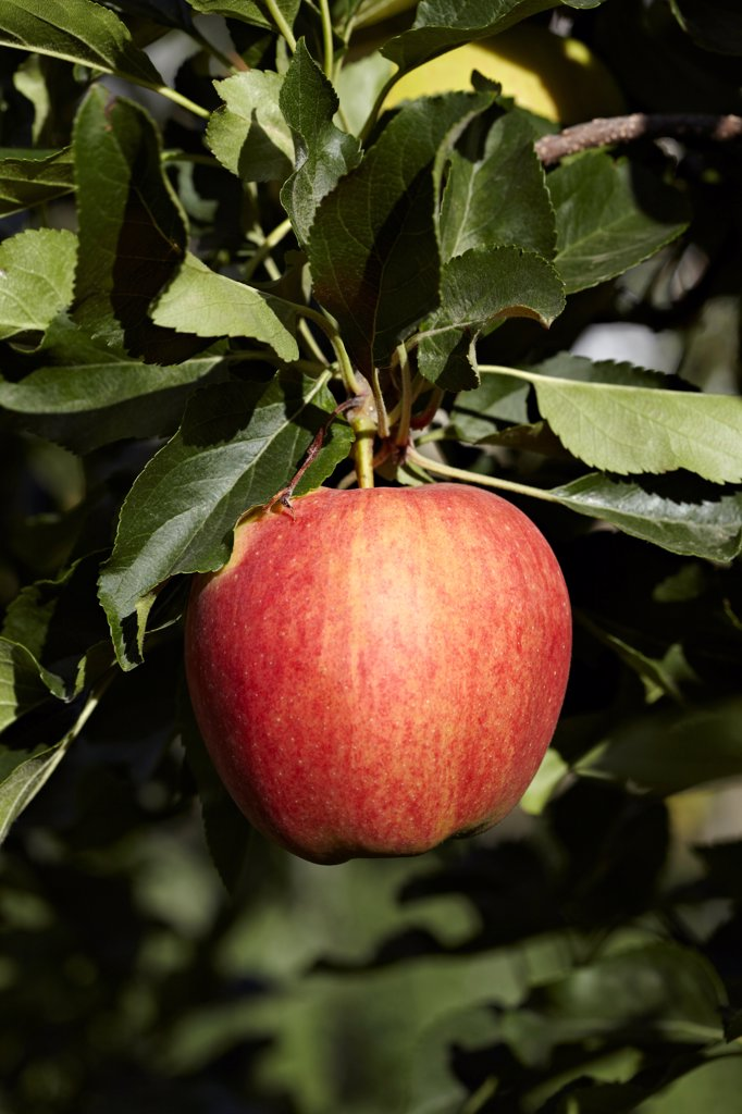 Stock Photo: 1828R-88703 Red Apple, Cawston, Similkameen Country, British Columbia, Canada