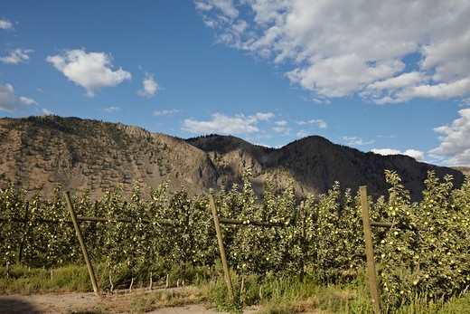 Espaliered Apple Trees, Cawston, Similkameen Country, British Columbia, Canada : Stock Photo
